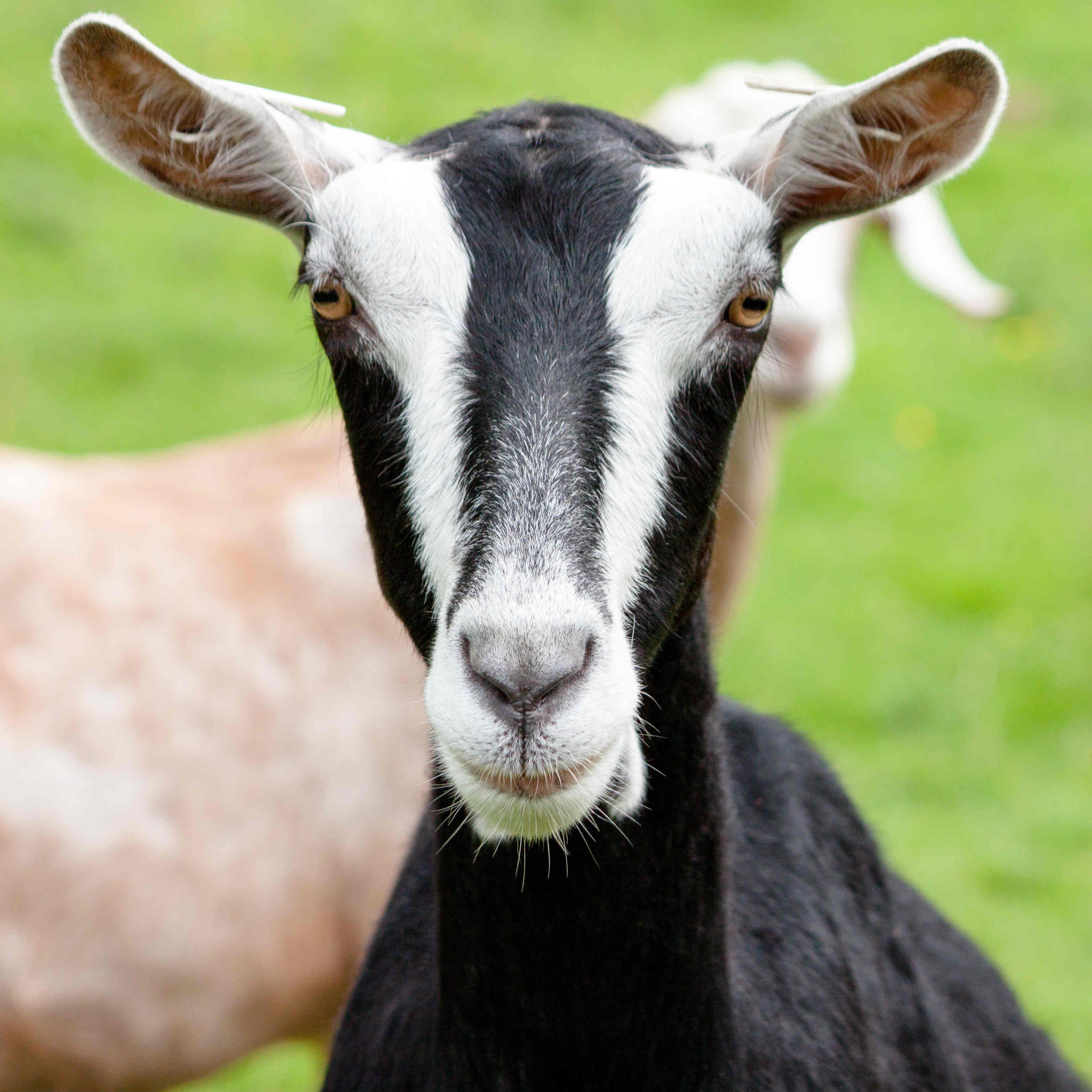 goat- edited
